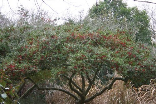 Yaupon Problems Holly Tree