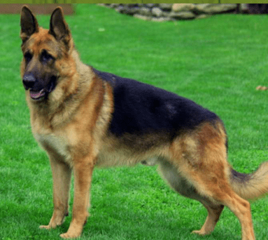 Luther Male German Shepherd