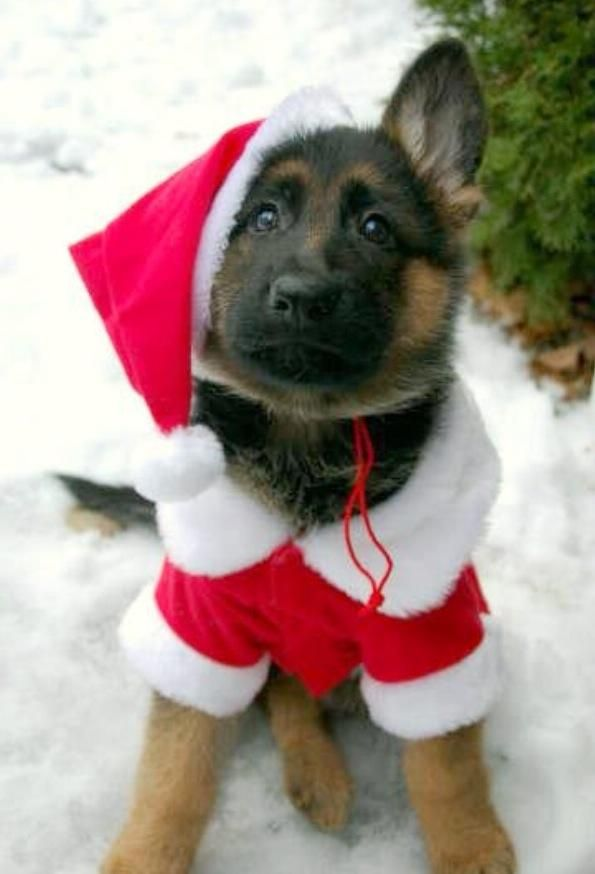 puppy in santa outfit