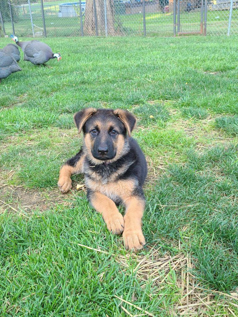 Zina's Female Puppy,,,