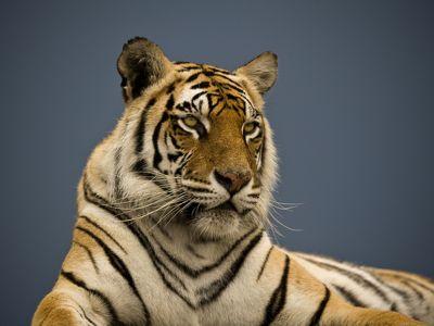 Tiger Julie at JV Tiger Canyons, South Africa