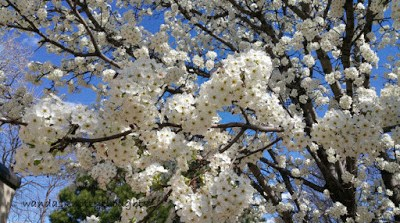 Blooming Ornamental Pear tree wandasknottythoughts