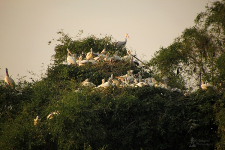 Nesting areas of Pelicans and Ibis