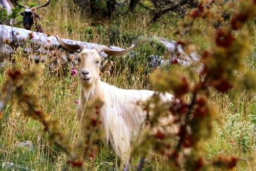 Reizen Montenegro - ontmoeting met geit