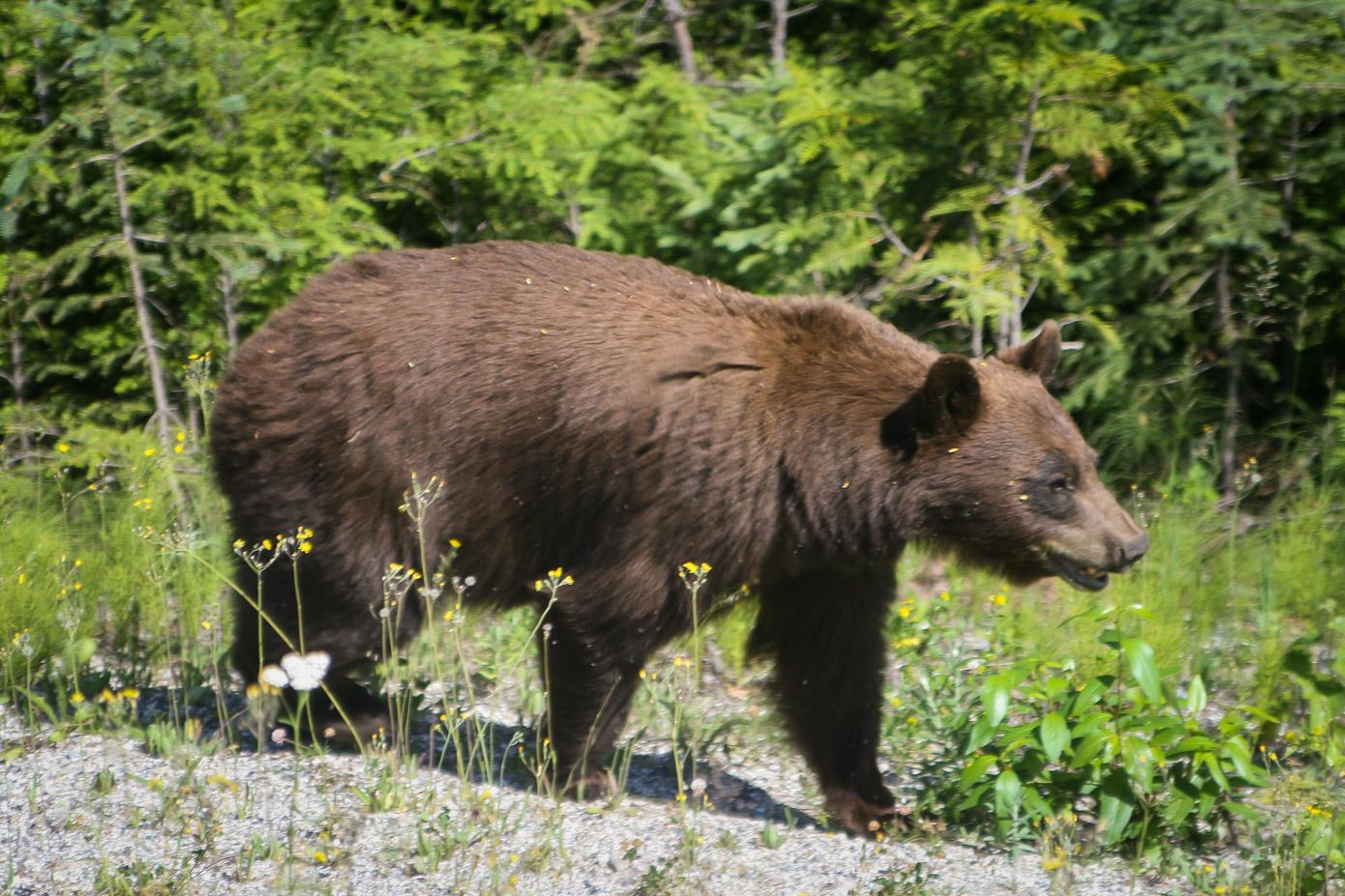 Spiksplinternieuw Hoe omgaan met beren op reis? - Wanderer's Blues VB-25