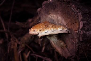 paddenstoel