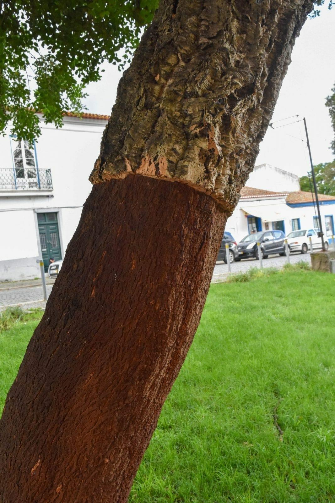 Evora Cork Tree