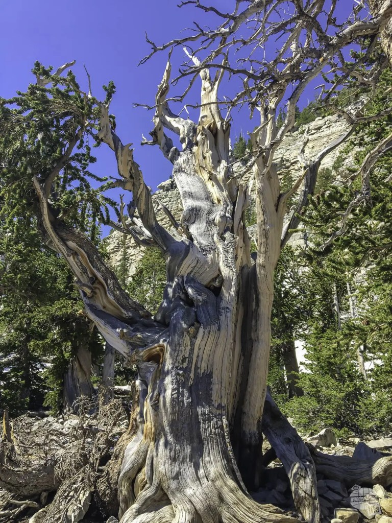 One of the oldest trees at Great Basin NP.