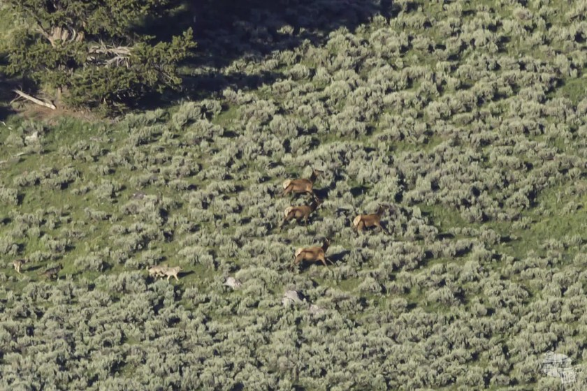 Wolves running off elk in Hayden Valley, Yellowstone National Park.