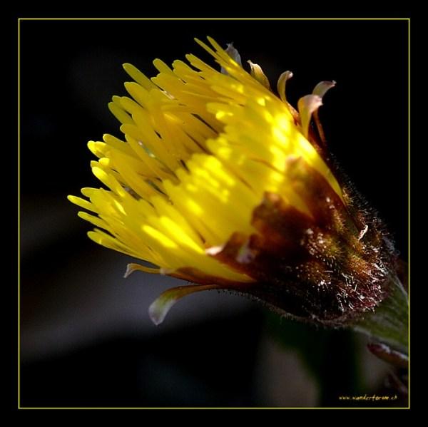 Huflattich, Heilpflanze