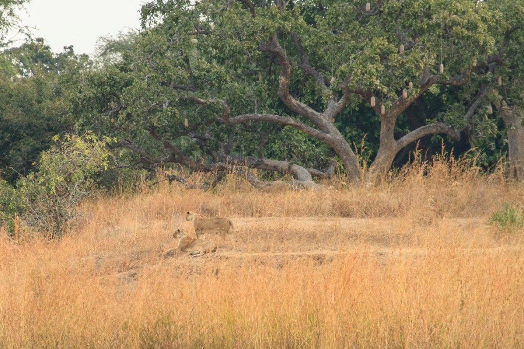 Zambie Parc National North Luangwa Lions