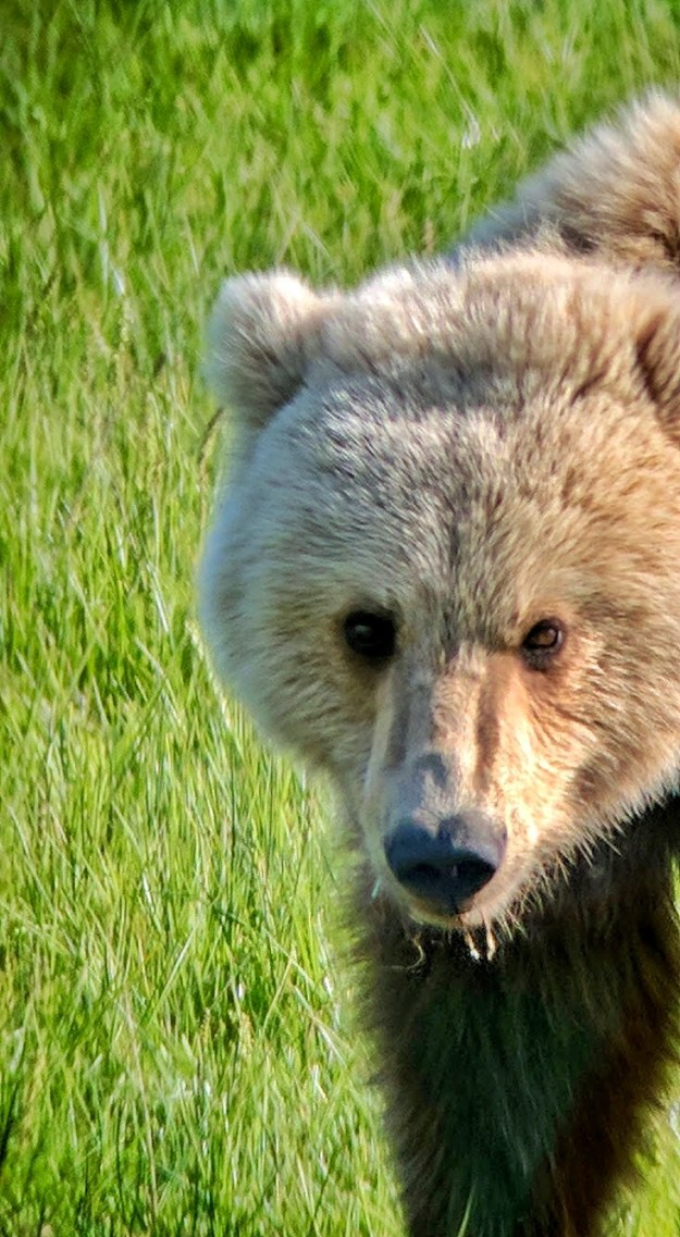 alaska-female-brown-bear