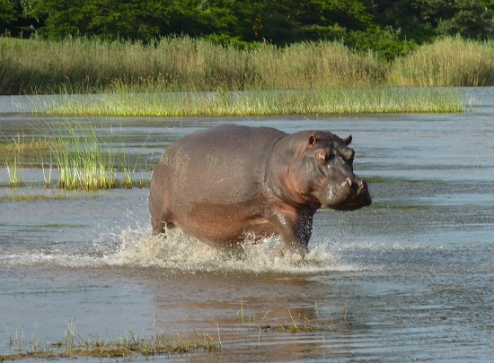 Hippopotamus, South Africa