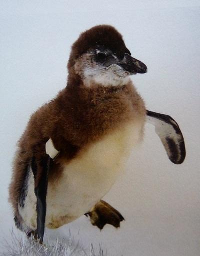 Penguin Adoption