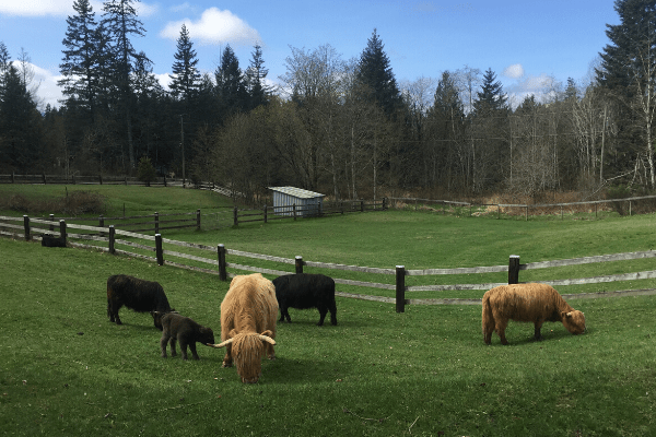 Raising Farm Animals, the best choices for beginner homesteaders herd of highland cattle in a field