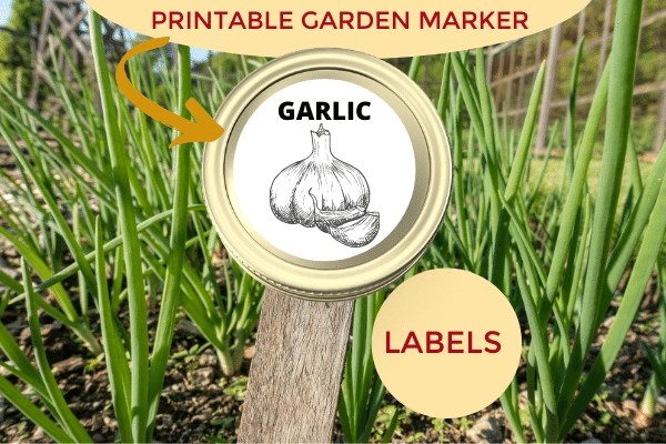 garden bed with garlic labeled with a canning lid garden marker using the printable garden marker labels from wandering hoof ranch