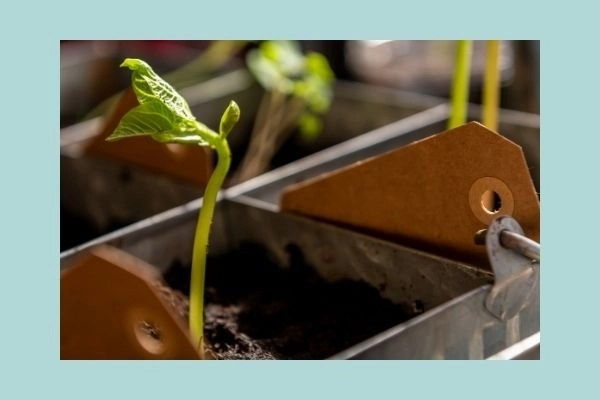 getting started gardening with pea seeds sprouting in metal containers