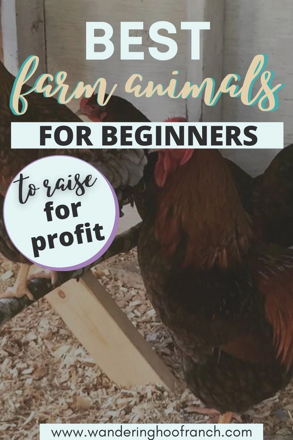best farm animals for beginners to raise for profit pin overlay of three chickens roosting
