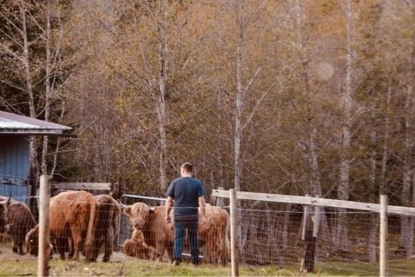 farmer spending time with his fold of highland cattle