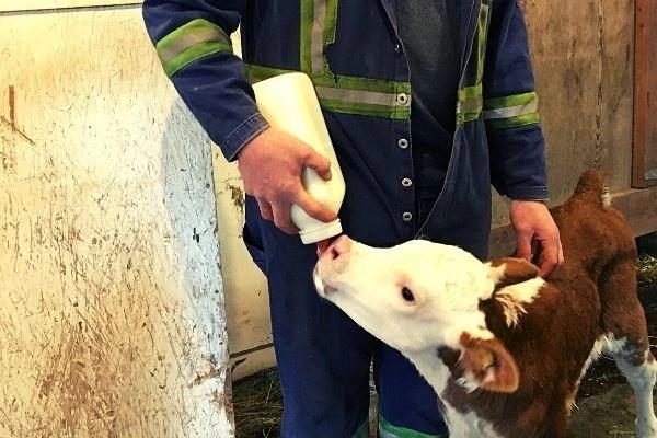 farmer bottle feeding a young calf