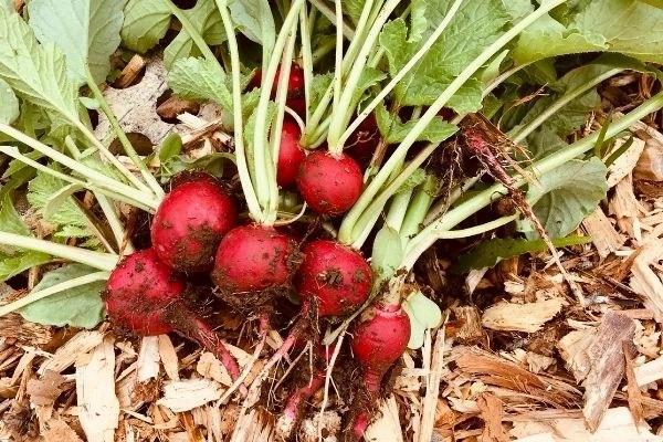 radishes growing in garden