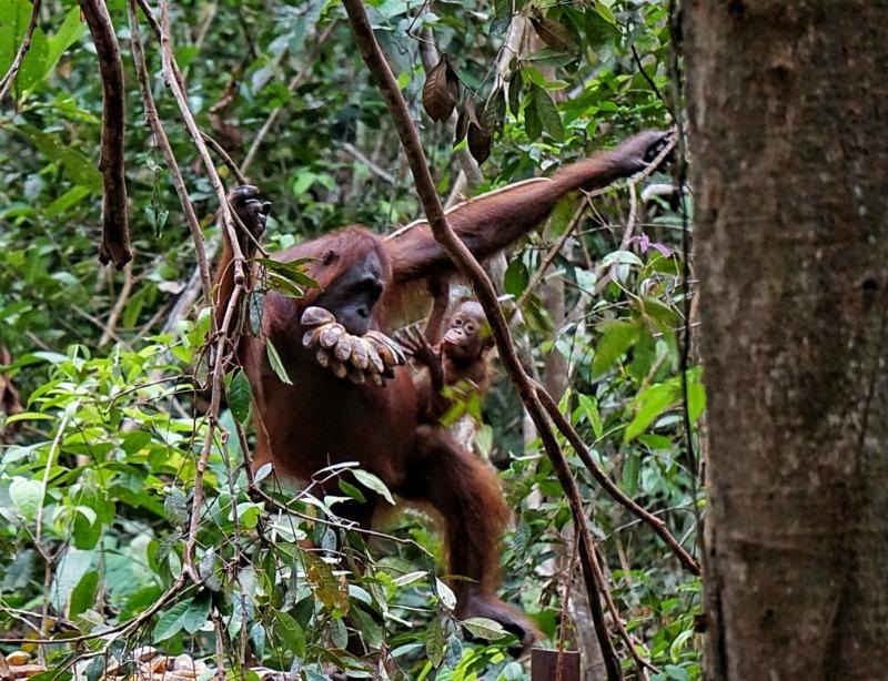 See Wild Orangutans