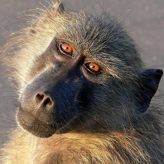 Baboons kidnap puppies ~ Raise as pets & protectors
