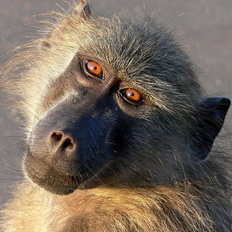 Baboons kidnap puppies ~ Raise as pets & protectors