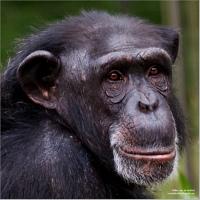Chimpanzee ~ Photo by Willem van de Kerkhof