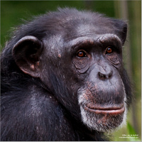 Why do human have one less chromosome than chimpanzees?