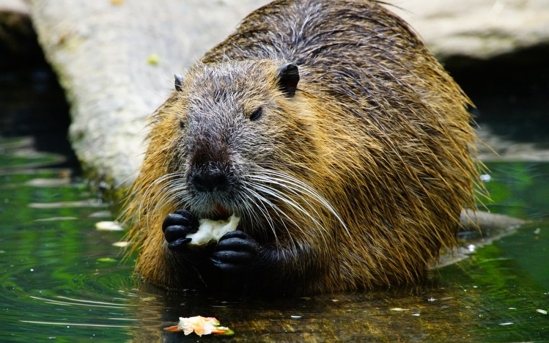 How Bucky the Beaver lived with a human family