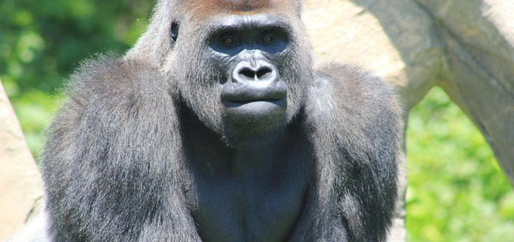 a28dce48d500d My thoughts on Harambe - The Wandering Sant