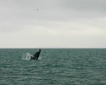 Humpback whale breaching in Stephan's Passage near Juneau.