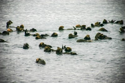 Sea otters playing in the water