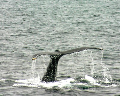 Tail of a humpback whale on our Sea Otter and Wildlife Quest.