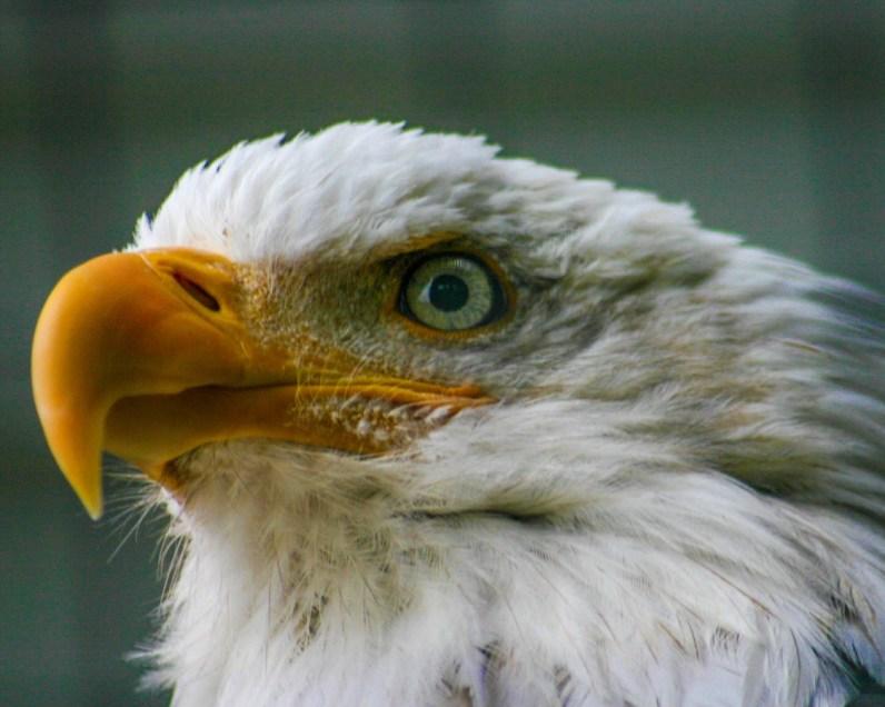 Face of a Bald Eagle at the Alaska Raptor Rehabilitation Center.