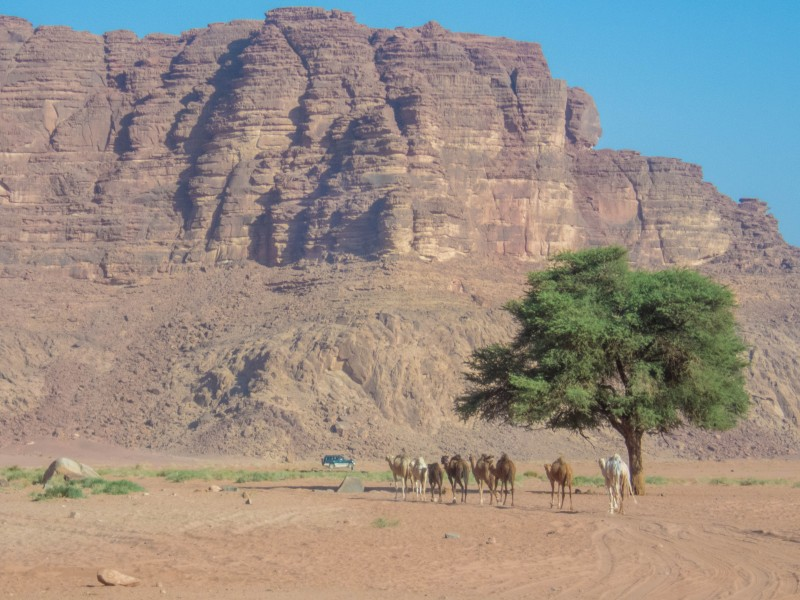 Camels stand under a tree in the desert near a tall mountain in the Wadi Rum Desert in Jordan