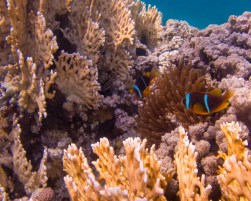 Nemo amidst coral in the Red Sea.