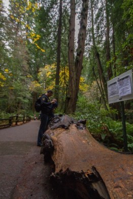 Man helps son jump on fallen giant Redwood trunk in Muir Woods National Monument.