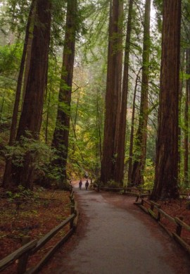 View of main trail at Muir Woods National Monument