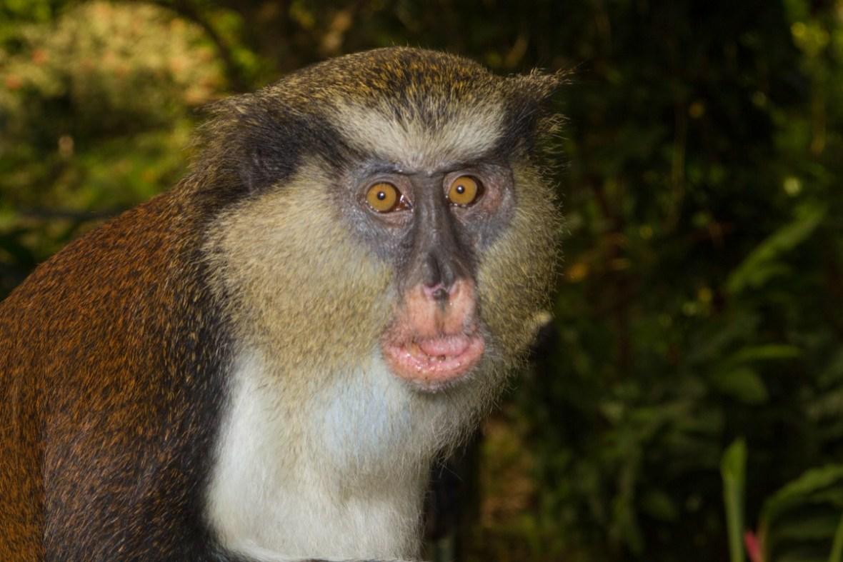 Grenada Tour - Mona Monkey