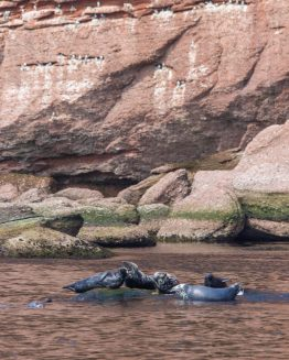 Five grey seals are sunning themsleves on a rock in the waters of the National Park of Bonaventure Island and Perce Rock.