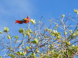 A Scarlett Macaw sits on the top of a tree in Costa Rica - finding paradise in the Osa Peninsula