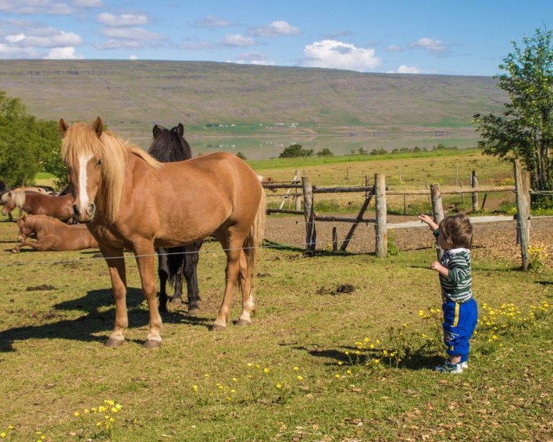 a young boy visiting Icelandic horses - An Epic 14 Day Iceland Itinerary