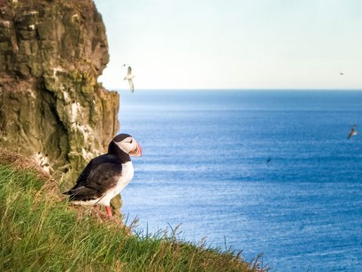 A puffin looks out over the ocean from tall cliffs in Iceland - An Epic 14 Day Iceland Itinerary