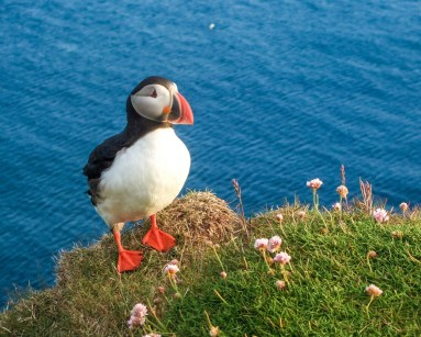 A colourful puffin stands on the edge of a cliff - An Epic 14 Day Iceland Itinerary