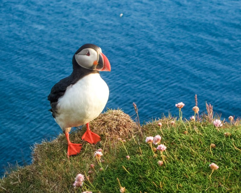 A puffin sits at the edge of the Latrabjarg Puffin Cliffs in Icelands westfjords