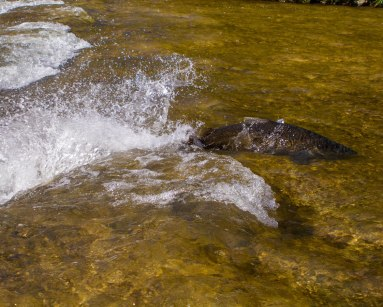 Salmon in the Ganaraska river in the annual salmon run is one of the 5 kid-friendly fall activities in Ontario.