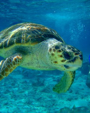 Turtle at Hol Chan Marine Reserve in Belize.