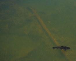 Two catfish swim through the waters above Iguazu Falls Argentina